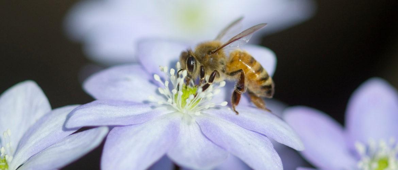 Web Bee on Hepatica